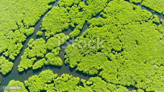 River in tropical mangrove green tree forest top view. Mangrove jungles, trees, river. Mangrove landscape