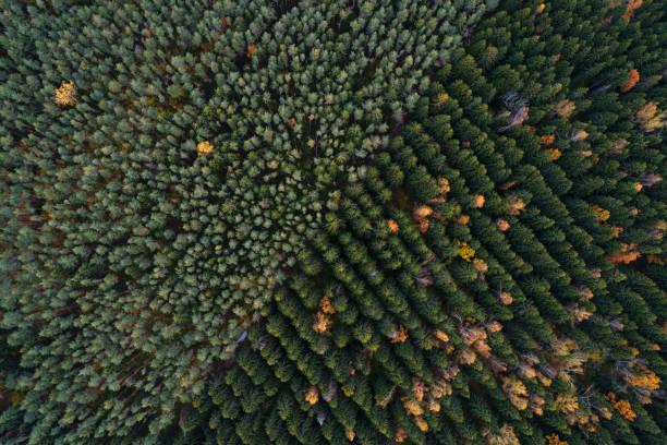 Vue aérienne des plantations de forêts de conifères hétéroclite - Photo