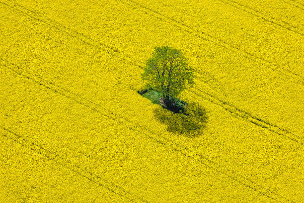 Aerial View of Oilseed Rape Field located in Germany Aerial View of Oilseed Rape Field located in Germany saturated color stock pictures, royalty-free photos & images