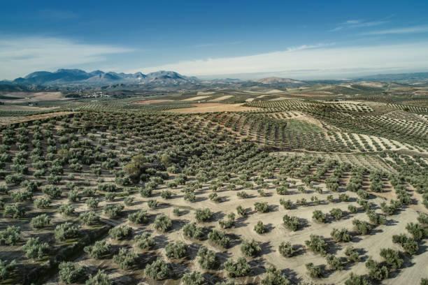 Luftaufnahme von Olivenbäumen in Jaen Andalusien Spanien – Foto