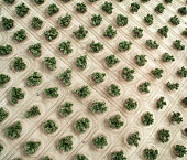 Aerial view of olive trees in Jaen Andalucia Spain