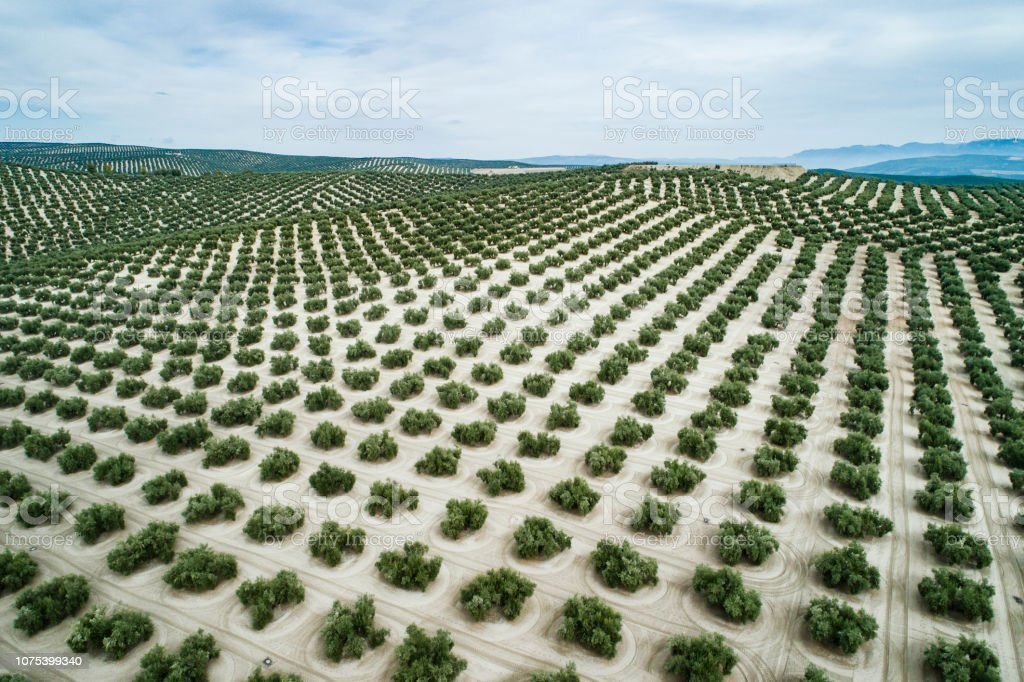 Aerial view of olive trees in Jaen Andalucia Spain stock photo