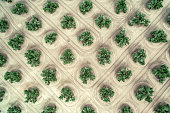Aerial straight-down view of orange trees packed into a dense grove grid. Richgrove, California, USA