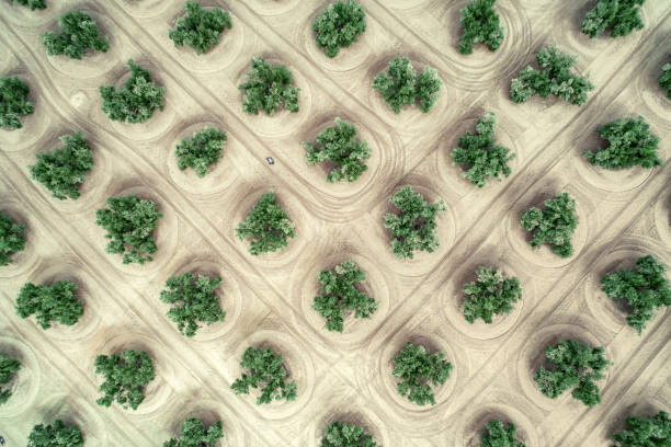 Aerial view of olive trees in Jaen Andalucia Spain Aerial view of olive trees in Jaen Andalucia Spain monoculture stock pictures, royalty-free photos & images