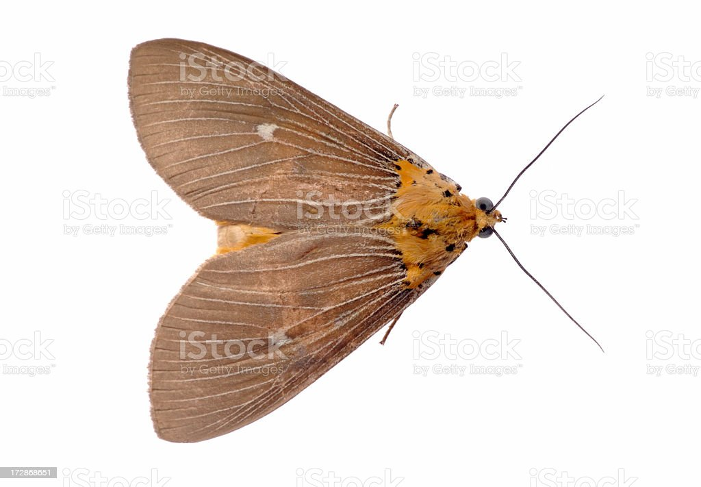 Aerial view of orange and brown moth facing to right stock photo