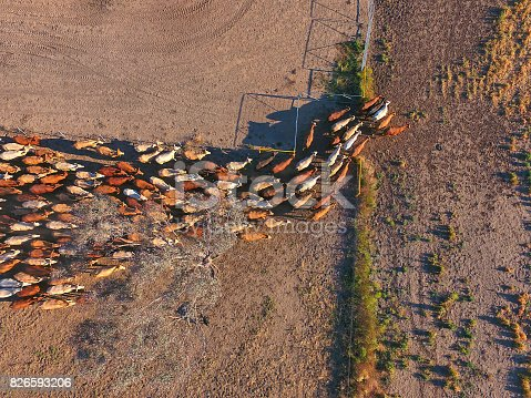 istock Aerial view of Outback Cattle mustering featuring herd of livestock cows 826593206