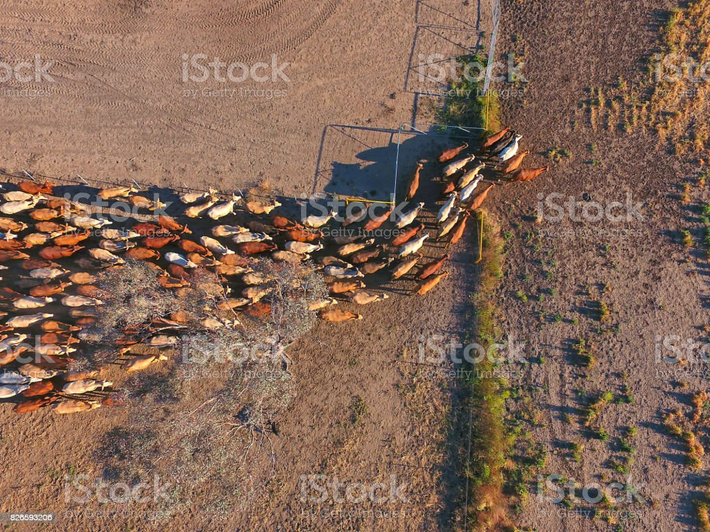 Aerial view of Outback Cattle mustering featuring herd of livestock cows stock photo