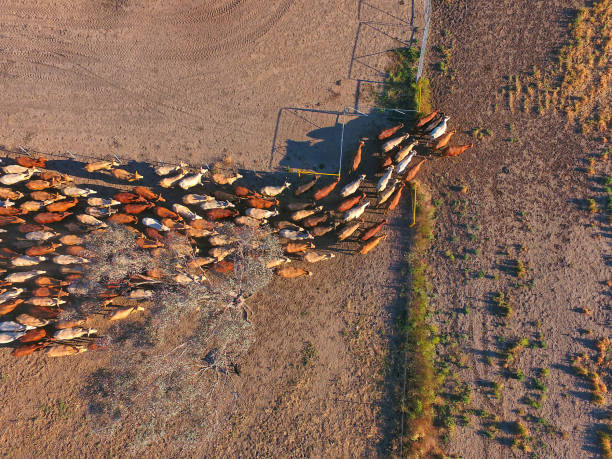 aerial view of outback cattle mustering featuring herd of livestock cows - drought stock pictures, royalty-free photos & images