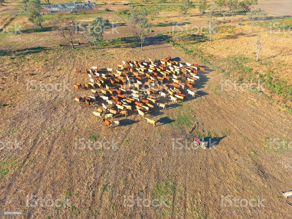 Aerial view of Outback Cattle mustering stock photo