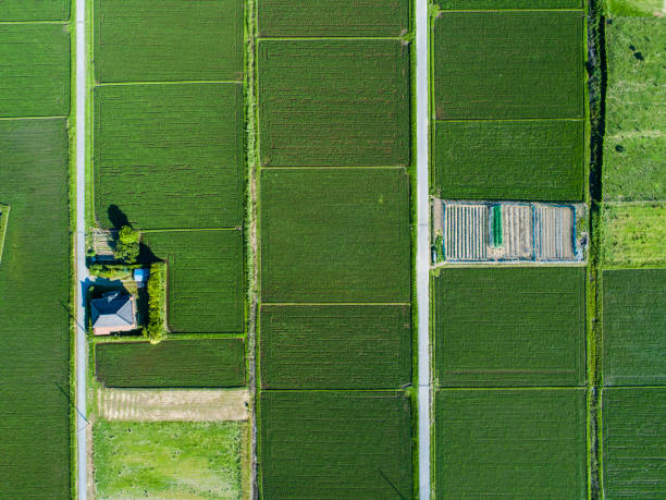 Aerial view of paddy field This picture taking huge paddy field from overhead. rice paddy stock pictures, royalty-free photos & images