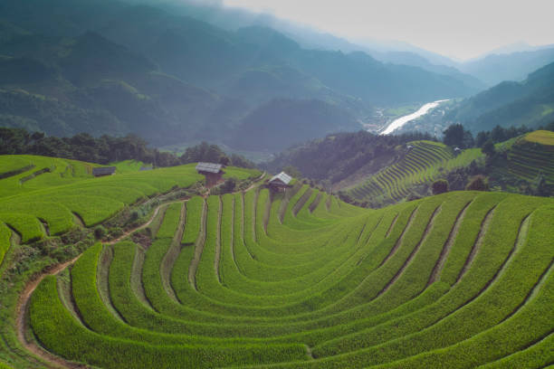 Aerial view of Paddy filed at Mu Cang Chai in Vietnam during harvest season.