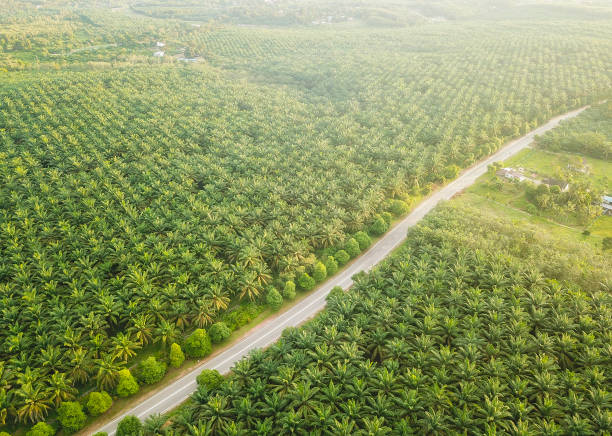 aerial view of palm oil plantation in asia. agricultural background - oleo palma imagens e fotografias de stock