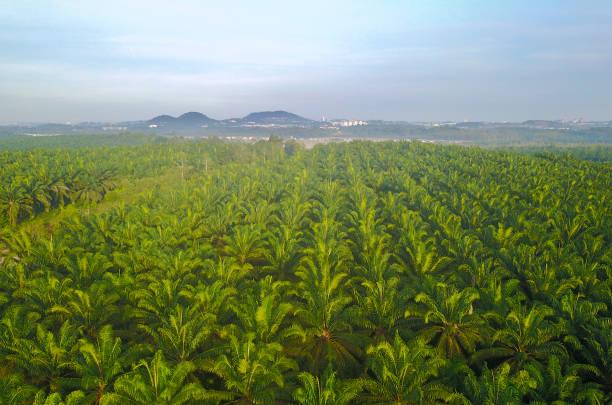 Luftaufnahme des Palmenhains am Süd-Ost-Asien. – Foto
