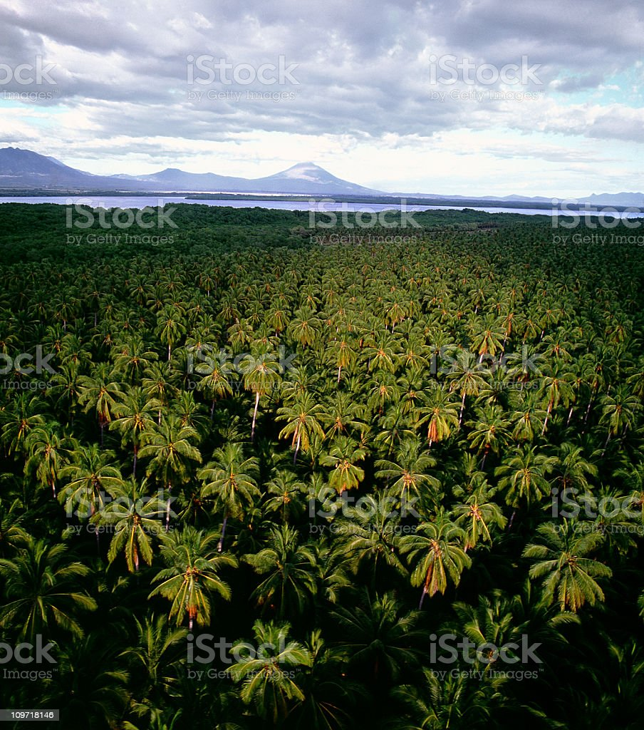 Aerial View of Palm Tree Forest stock photo