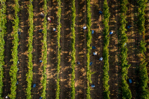 Aerial view of people picking grapes in a vineyard in Alentejo stock photo