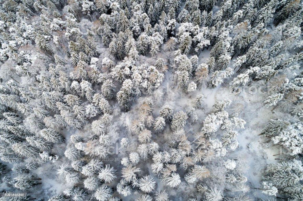 Luftaufnahme von Kiefern mit Schnee bedeckt – Foto