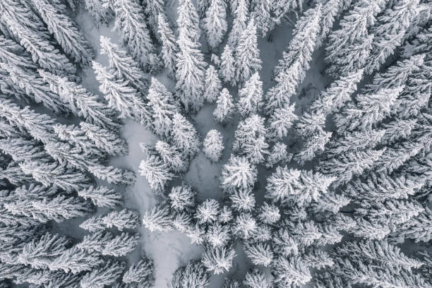 Aerial view of pine trees covered with snow picture id1096074224?b=1&k=6&m=1096074224&s=612x612&w=0&h=ndrl44ywy3bpxg7pdpl6skmrbsjhdroyfd1h4yk7hpk=