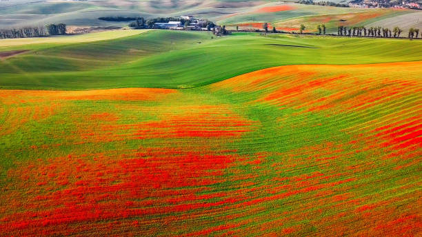 Aerial view of poppies on green hills, Moravia, Czech Republic Red poppies on green grass hills, Moravia moravia stock pictures, royalty-free photos & images