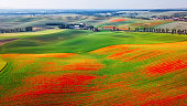 Red poppies on green grass hills, Moravia
