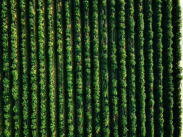 Luftaufnahme des Kartoffelreihenfeldes in der Agrarlandschaft – Foto