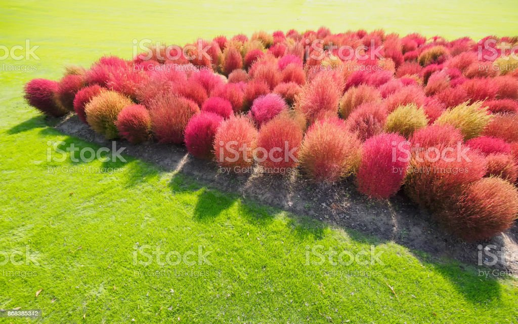 Aerial View Of Red Kochia Scoparia On Green Grass Field With