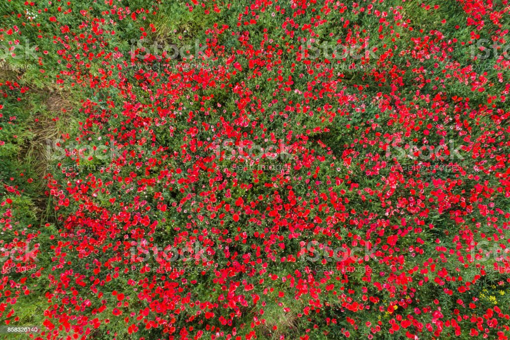 aerial view of red poppy field stock photo