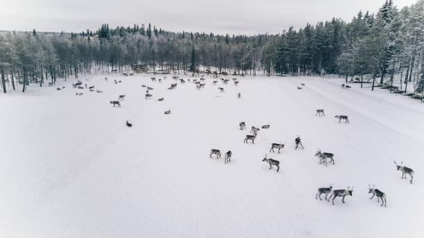 冬のラップランドのフィンランドの群れのトナカイの航空写真 - ツンドラ ストックフォトと画像