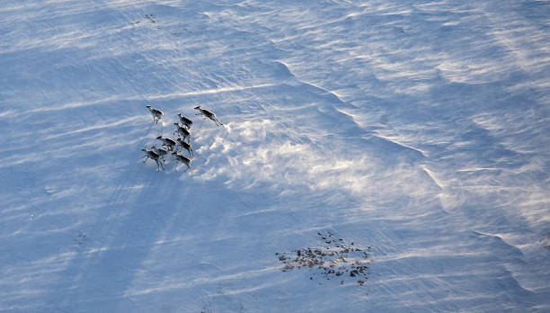 Aerial view of reindeer herd Aerial view of reindeer herd in winter tundra herbivorous stock pictures, royalty-free photos & images