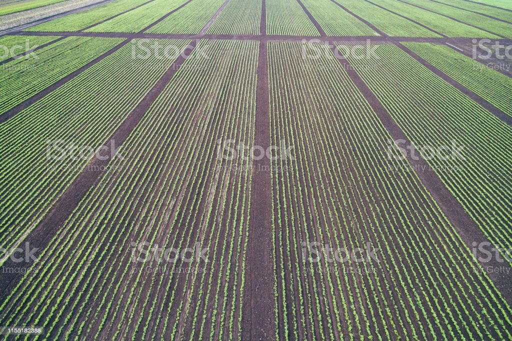 The peak оf the decorative rose harvest in the agricultural...