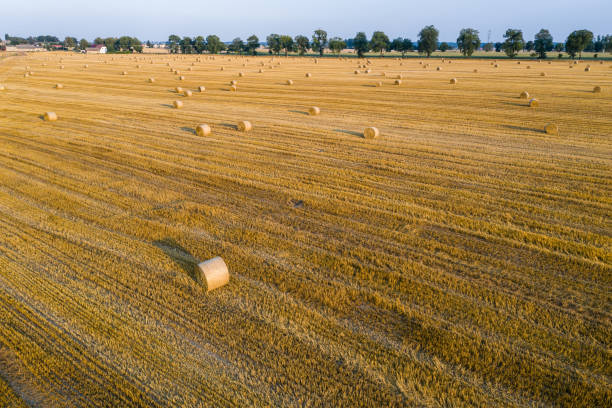 Aerial view of round hay bales on stubble, harvesting time stock photo