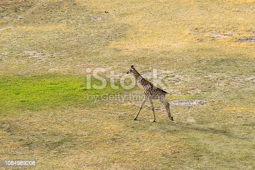 1137909085 istock photo Aerial view of running giraffe in bush grasslands in Delta Okavango, Botswana, Africa 1084989208