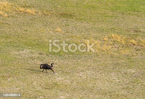 1137909085 istock photo Aerial view of running giraffe in bush grasslands in Delta Okavango, Botswana, Africa 1084989314