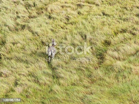 1137909085 istock photo Aerial view of Running zebra in bush grasslands in Delta Okavango, Botswana, Africa 1084987284