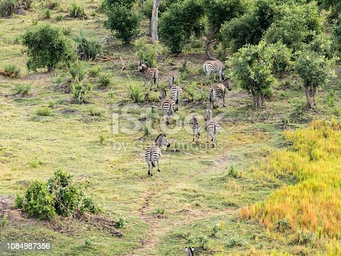 1137909085 istock photo Aerial view of Running zebra in bush grasslands in Delta Okavango, Botswana, Africa 1084987356