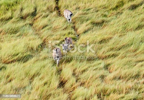 1137909085 istock photo Aerial view of Running zebra in bush grasslands in Delta Okavango, Botswana, Africa 1084988622