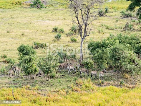 1137909085 istock photo Aerial view of Running zebra in bush grasslands in Delta Okavango, Botswana, Africa 1084988662