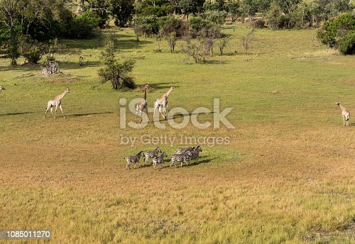 1137909085 istock photo Aerial view of Running zebra in bush grasslands in Delta Okavango, Botswana, Africa 1085011270