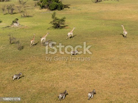 1137909085 istock photo Aerial view of Running zebra in bush grasslands in Delta Okavango, Botswana, Africa 1085011276