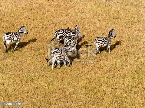 1137909085 istock photo Aerial view of Running zebra in bush grasslands in Delta Okavango, Botswana, Africa 1085011456