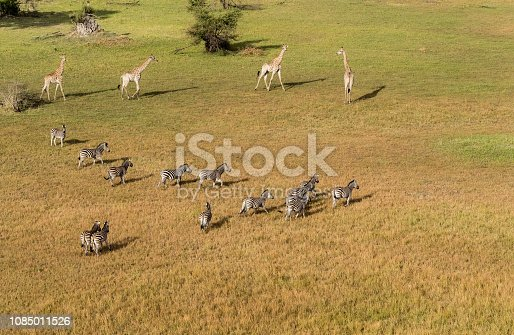 1137909085 istock photo Aerial view of Running zebra in bush grasslands in Delta Okavango, Botswana, Africa 1085011526