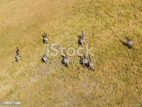 1137909085 istock photo Aerial view of Running zebra in bush grasslands in Delta Okavango, Botswana, Africa 1085011580