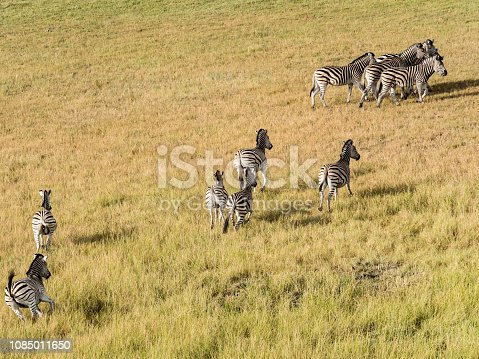 1137909085 istock photo Aerial view of Running zebra in bush grasslands in Delta Okavango, Botswana, Africa 1085011650