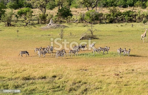 1137909085 istock photo Aerial view of Running zebra in bush grasslands in Delta Okavango, Botswana, Africa 1085011696