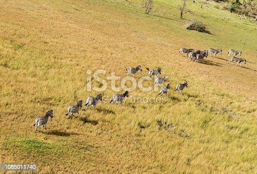 1137909085 istock photo Aerial view of Running zebra in bush grasslands in Delta Okavango, Botswana, Africa 1085011740