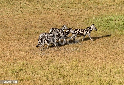 1137909085 istock photo Aerial view of Running zebra in bush grasslands in Delta Okavango, Botswana, Africa 1085011786