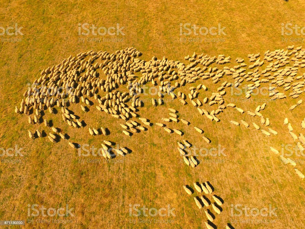Aerial view of Sheep Herd Australia stock photo