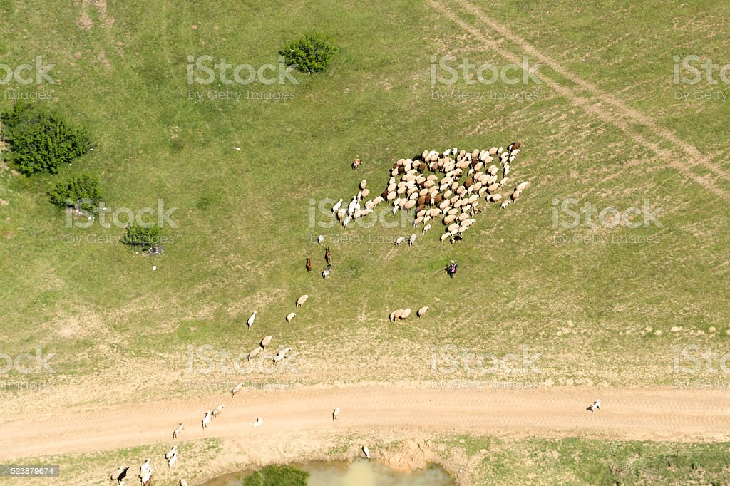 Aerial View of Sheep Herd stock photo