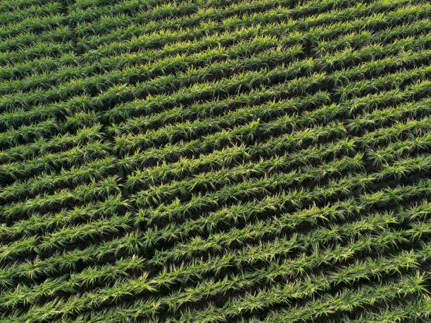 Aerial view of sugarcane plants growing at field stock photo