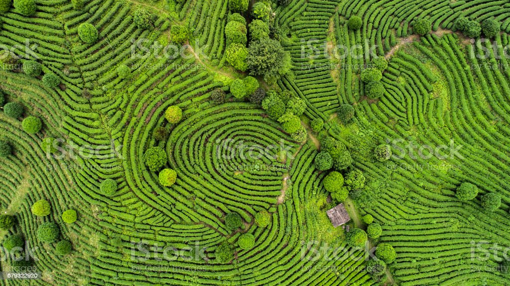 Aerial view of Tea fields stock photo