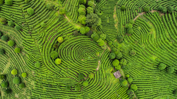 aerial view of tea fields - agricultural field stock photos and pictures
